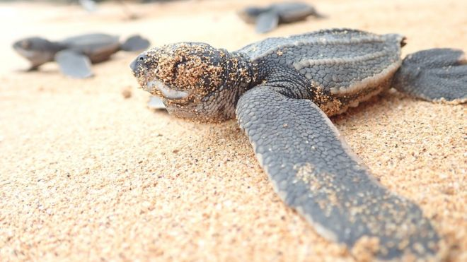 Eastern Pacific Leatherback