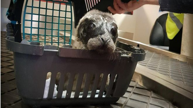 Rescued seal on plane