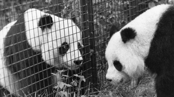 熊貓佳佳(左)與晶晶