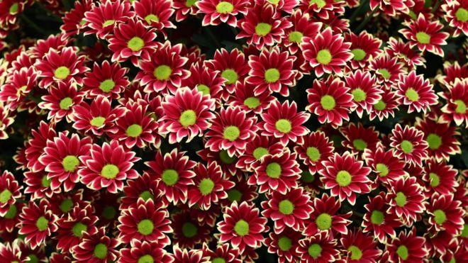 A National Chrysanthemum Society exhibit