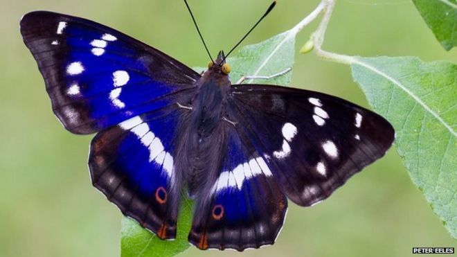 purple emperor the butterfly that feeds on rotting flesh bbc news