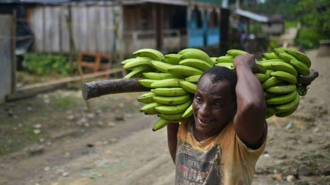 Bananero colombiano