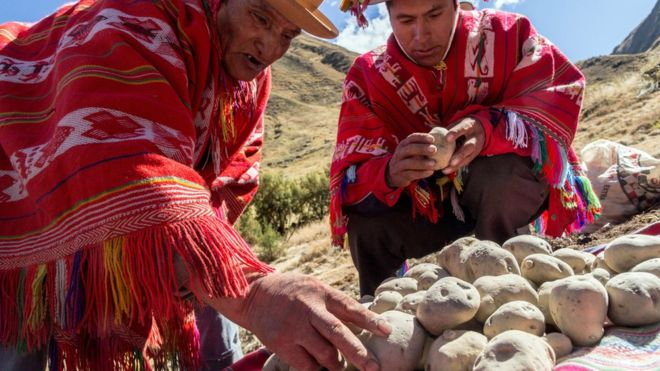 Peruanos agarrando chuño blanco