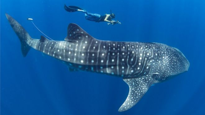 madagascar emerges as whale shark hotspot bbc news
