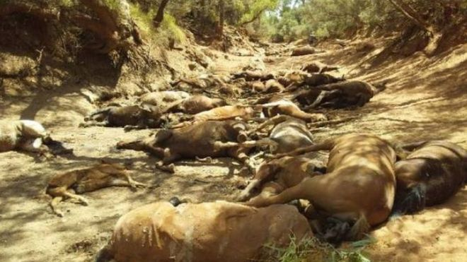 Image result for More than 90 wild horses die in Australia's heat wave