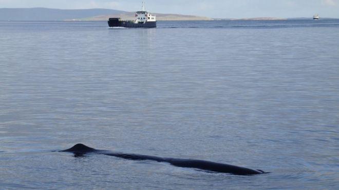Sperm whale moray firth