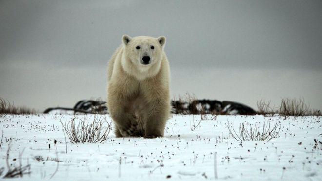 polar bear defending cub