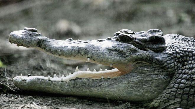 تمساح استرالي