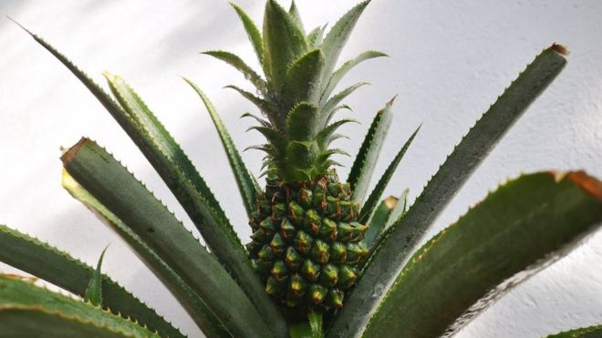First pineapple grown for 100 years in Welsh hothouse - BBC News
