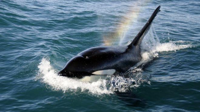 虎鲸,又叫杀人鲸,通常不会主动攻击人类船只,但它们智力水平相当高