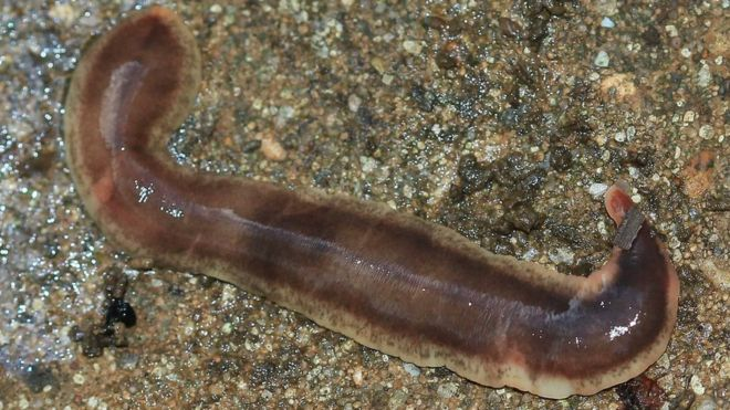 killer flatworm spread prompts scientists appeal bbc news