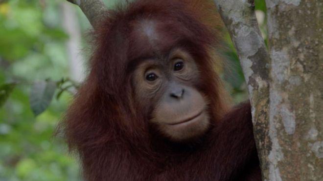 Orangotango bebê