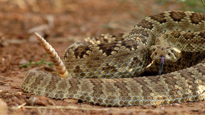 Serpiente de cascabel del Mojave verde