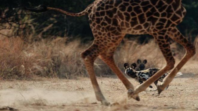 非洲鬣狗群捕杀长颈鹿的瞬间