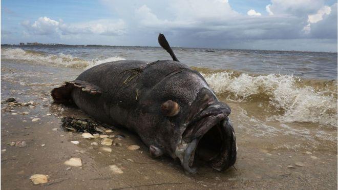 Red Tide Florida Powerless To Stem Killer Algae Bloom Bbc News