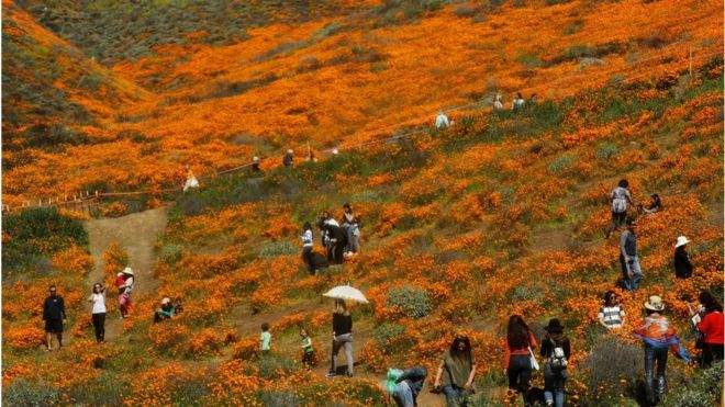 Tourists take photos in field of blooms