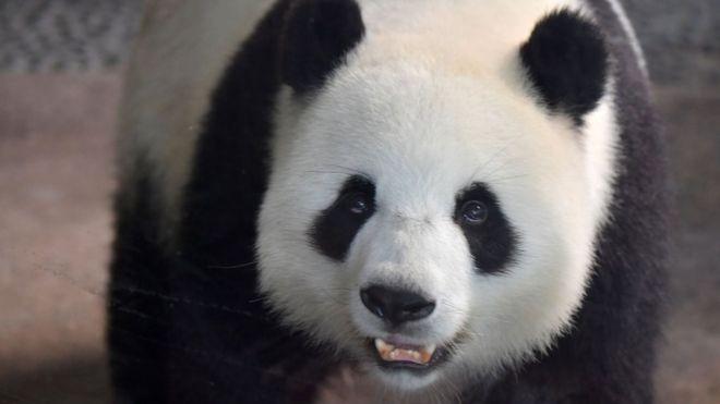 Panda cubs are born at Berlin Zoo - BBC News
