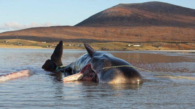 Baleia encalhada