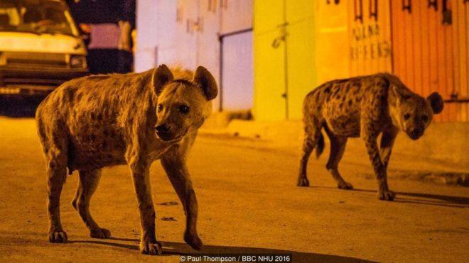 Spotted hyenas search for scraps of food on the streets of Harar, Ethiopia