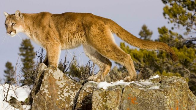 a3425517d Colorado runner kills cougar in self-defence after attack - BBC News