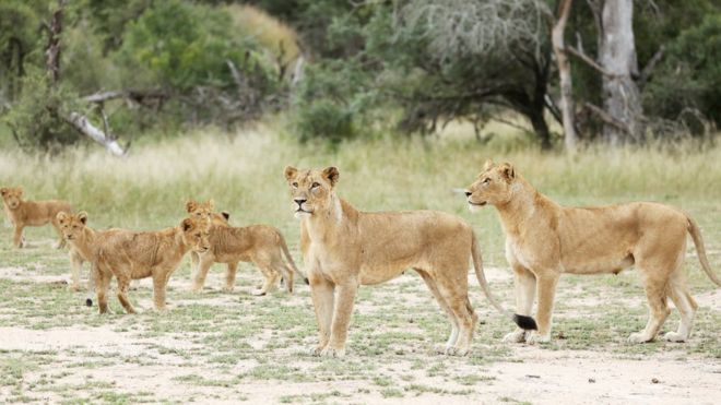 Kruger National Park: 14 lions on the loose in South Africa - BBC News