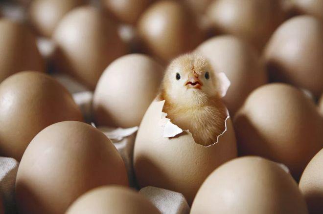 ลูกไก่ฟักออกจากไข่