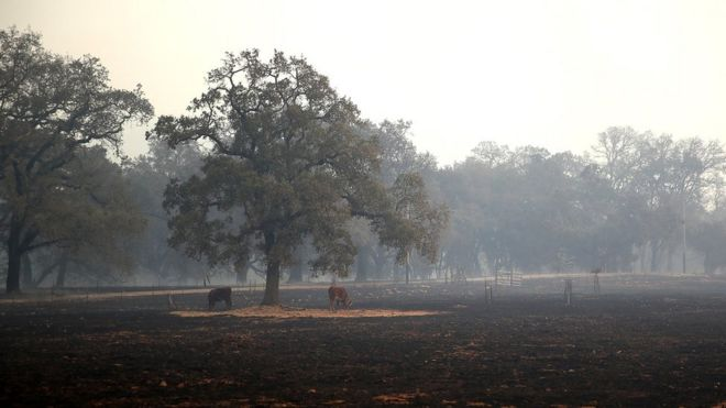 Cows stand on a patch of unburned grass after an out of control wildfire moved through the area on October 9, 2017 in Glen Ellen, California