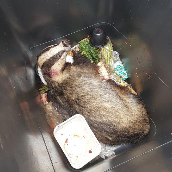 Badger in a bin