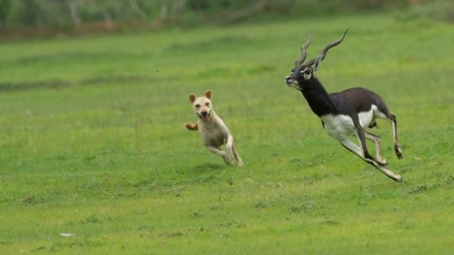 A free-ranging dog chases a blackbuck in Vetnoi of Indian state of Orissa