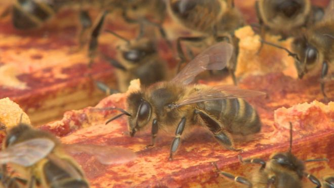 Native honey bees threatened by imports - BBC News