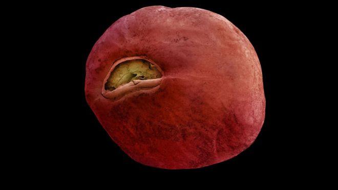 Semilla de Ensete ventricosum