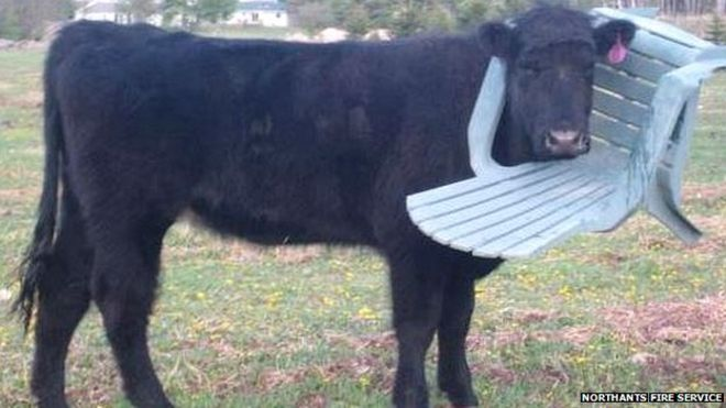 Cow With Head Stuck In Garden Chair