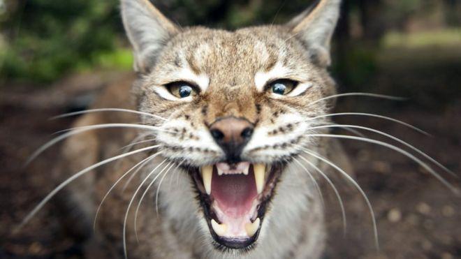 northumberland sheep farmers threaten lynx scheme bbc news