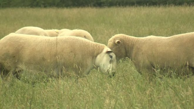 Meat safety warning after more sheep slaughtered in