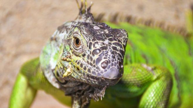 Por qué es normal que los lagartos tengan tres ojos (y el científico que encontró un fósil de 4 ojos