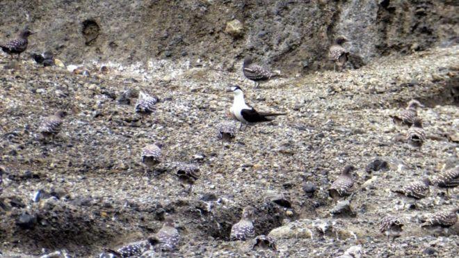پرستوی دریایی پشتسیاه در این جزیره سکنی گزیده است