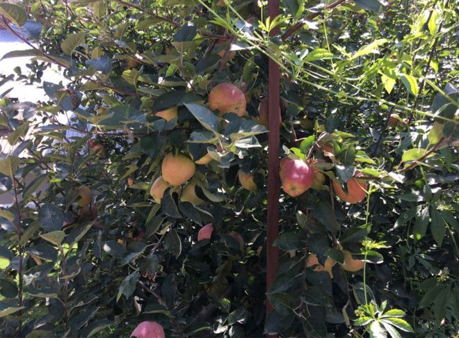 सेब, कश्मीर