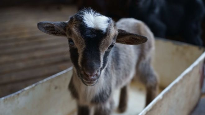 Don't get my goat: The island farmers fighting livestock