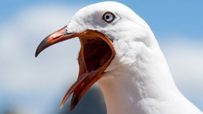 why seagulls are not angry just misunderstood bbc news