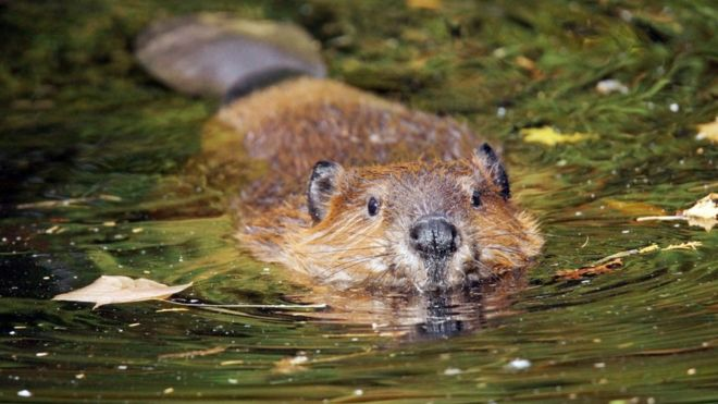 beavers to become protected species in scotland bbc news Beaver in Pushing Water beaver in water