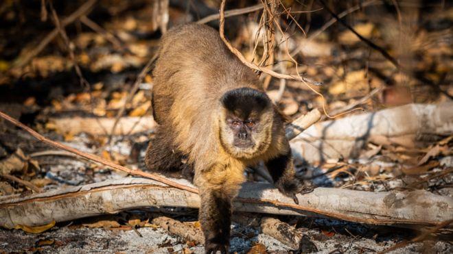 Macaco-prego em meio às cinzas de uma região tomada pelo fogo no Pantanal