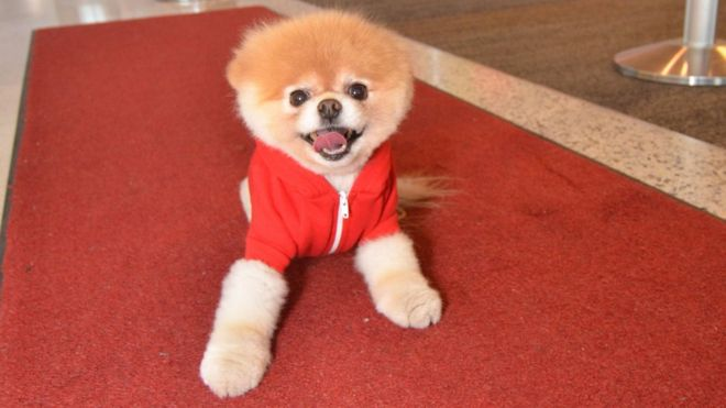 Boo The Pomeranian
