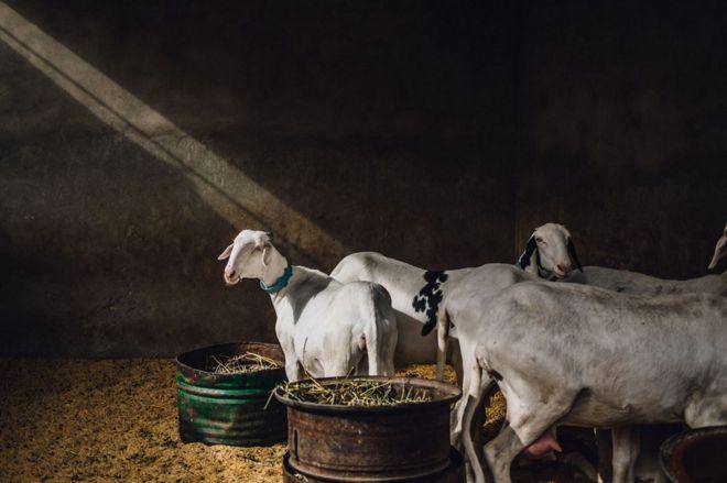 Dakar'daki pazarda hayvanlar