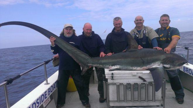 fisherman hooks 12ft 8in thresher shark off pembrokeshire bbc news