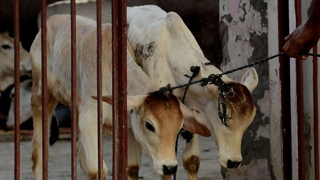 India Supreme Court suspends cattle slaughter ban - BBC News