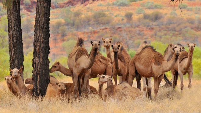 Grupo de camellos salvajes en Australia.