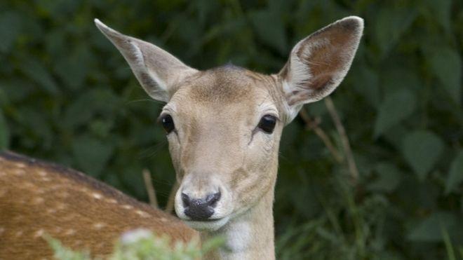 Bradgate Park fallow deer