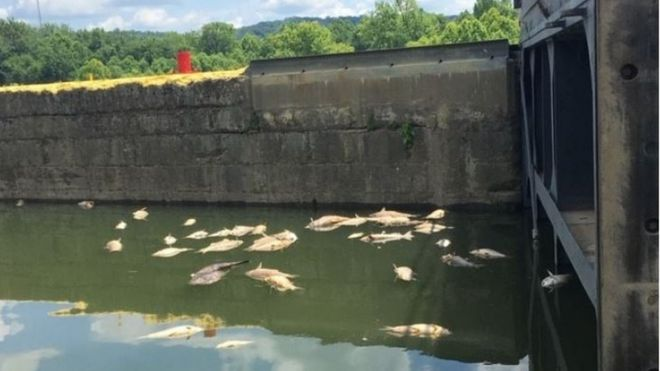 Dead fish in the Kentucky River