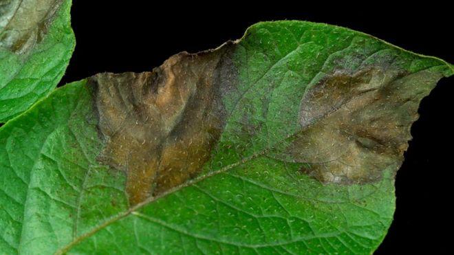 Image result for Hutton potato blight disease