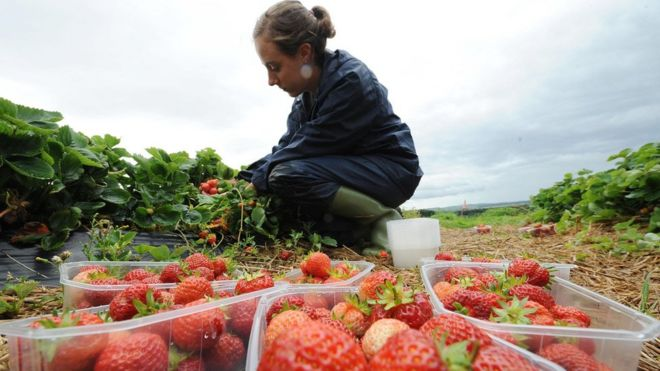 A worker picks fruit in Northumberland